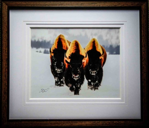 Bison in the Snow | Lovingly Framed by Buckinghamshire / Oxfordshire framer, Jules Sainter (lovinglyframed.co.uk)